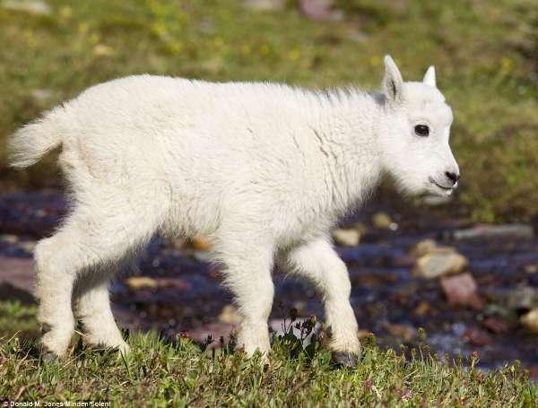 毛茸茸的小山羊超级萌