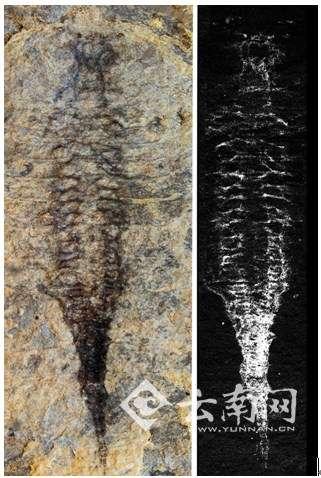 古生物学家发现最古老节肢动物心血管循环系统