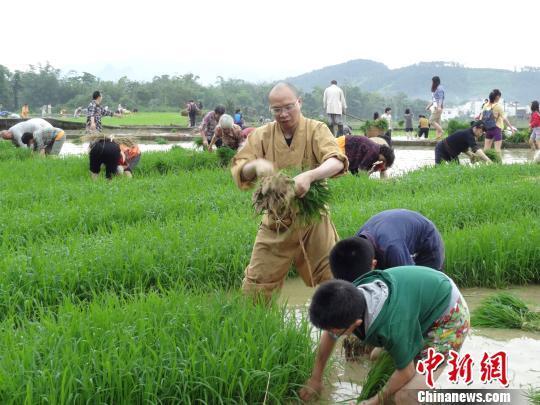 明向法师带领僧众在育秧田拔秧,拔好的秧苗供插秧用。 邢健 摄