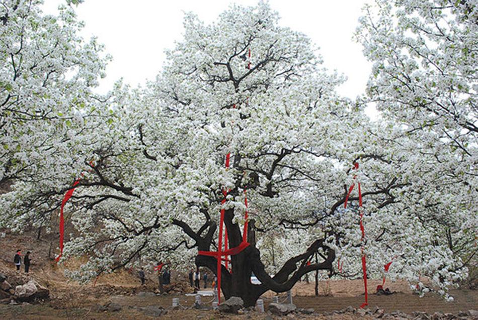辽宁500岁梨树开花
