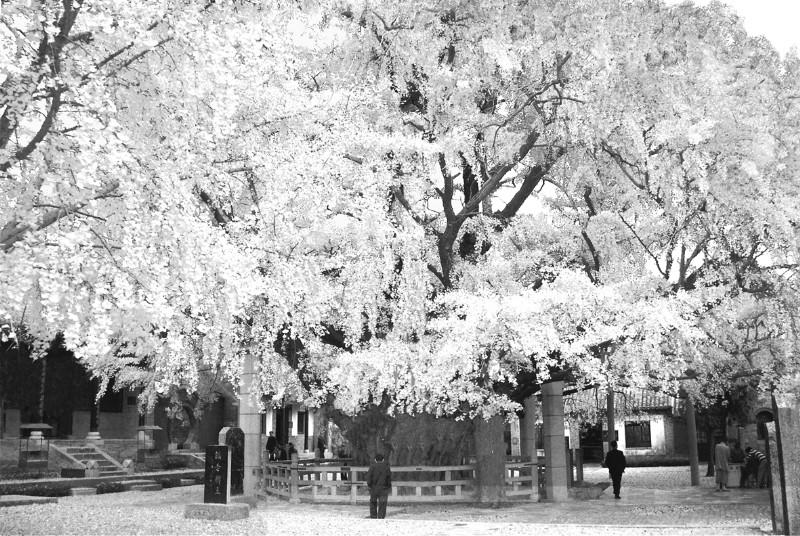 景区内天下银杏第一树