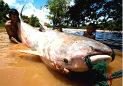 巨型怪鱼能吞食鳄鱼