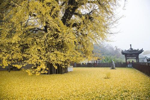 西安古寺千年银杏落叶宛若黄金毯