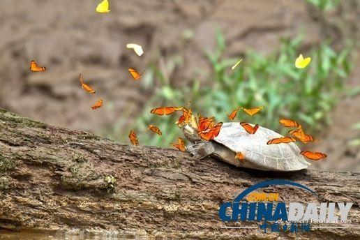 亚马逊热带雨林奇观 蝴蝶喝乌龟的眼泪摄取盐分 图