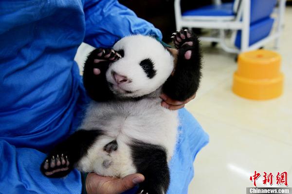 中国保护大熊猫研究中心新生熊猫宝宝集体亮相