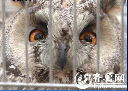 国家二级保护动物猫头鹰受伤 邹城民警及时送
