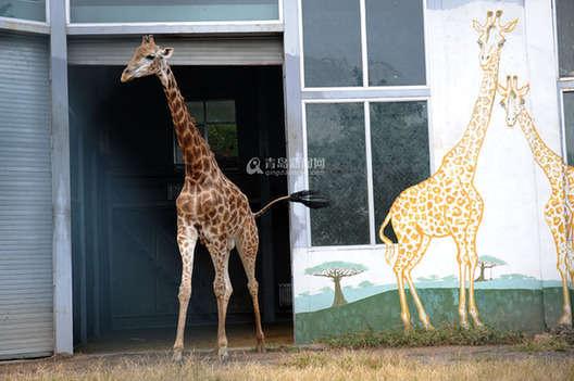 已经对一只雌性长颈鹿显示出好感,由于这只雌性长颈鹿刚产完幼崽,预计
