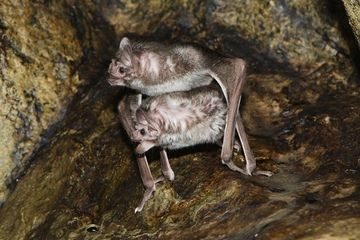丝袜女妖性交剹�n�)�h�_动物性交:蝙蝠是如何交配的?
