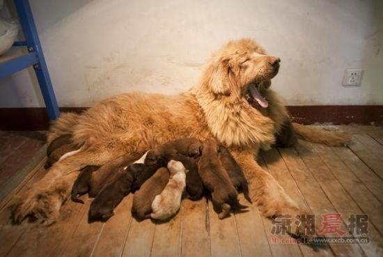 藏獒耗时12小时生下16只幼崽 估值超百万(图)
