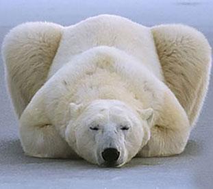 冰雪天堂里的呆萌北极熊