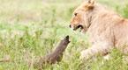 实拍霸气猫鼬一挑四 大战狮群