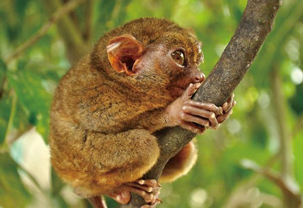 全世界最小的灵长类动物——眼镜猴.