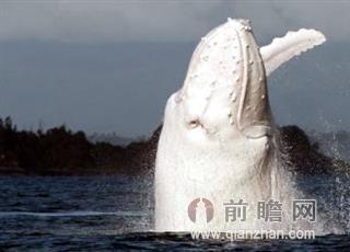 现白色座头鲸 世界可能仅存此一只