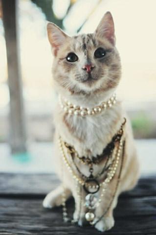 这只淡黄褐色的小猫,佩戴着珍珠项链尽显优雅,高贵的气质.
