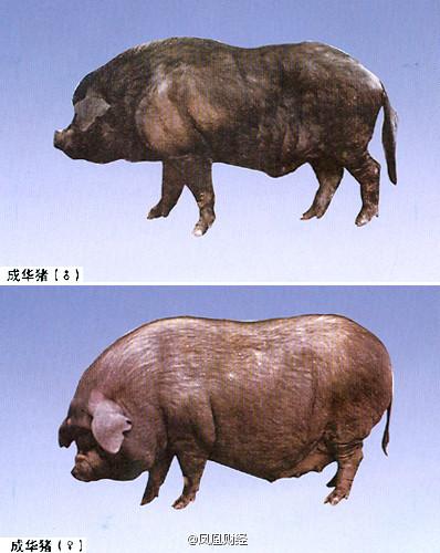 中国猪种危机:最适合做回锅肉的猪种濒临灭绝