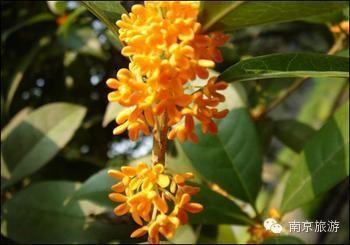 行程攻略 > 正文   南京种植桂花树最多最密的地方,当数中山陵风景区.