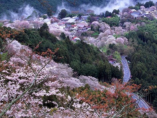 樱花风景图高清