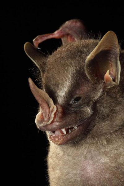 这只叶口蝠发现于哥斯达黎加的拉塞尔瓦生物站,正展示它折叠如长矛般突起的口吻部——这也是它名字的由来。
