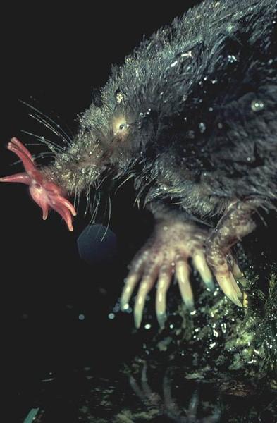 星鼻鼹是一种生活在北美东部的小型食肉哺乳动物,具有能防水的皮毛和厚厚的尾巴,后者可以在冬季储存脂肪。