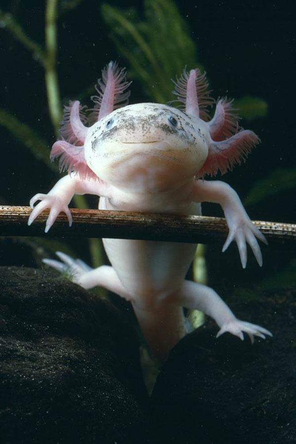 墨西哥钝口螈原产于墨西哥中部的深水湖泊。它们具有幼态延续的特征,即在性成熟后不会经历完全的变态,仍保持水栖幼体形态,还具有完全的断肢再生能力。