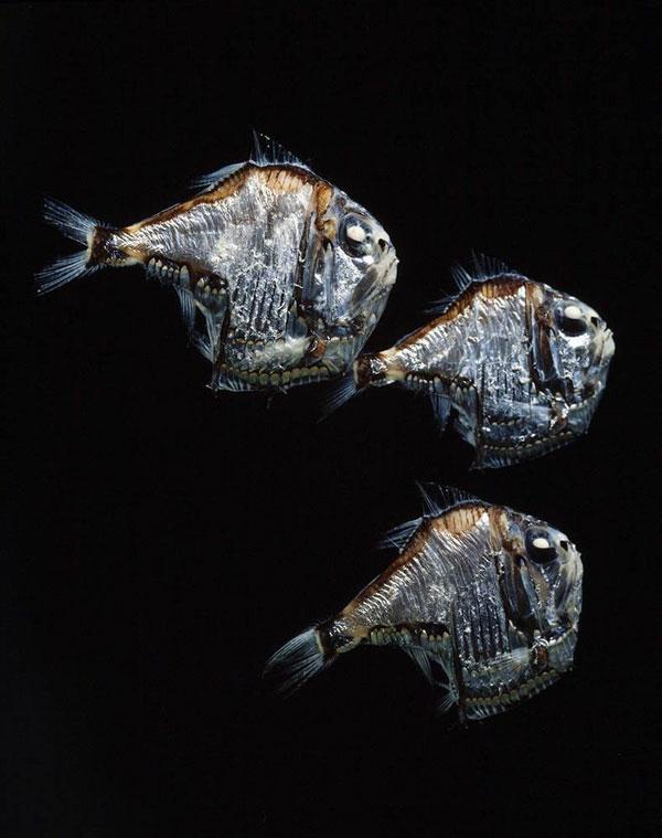 银斧鱼生活在深海,以其如同银色斧头般的身体形态而得名。目前发现的银斧鱼物种大约有45种,体型在2.5厘米到15厘米不等。