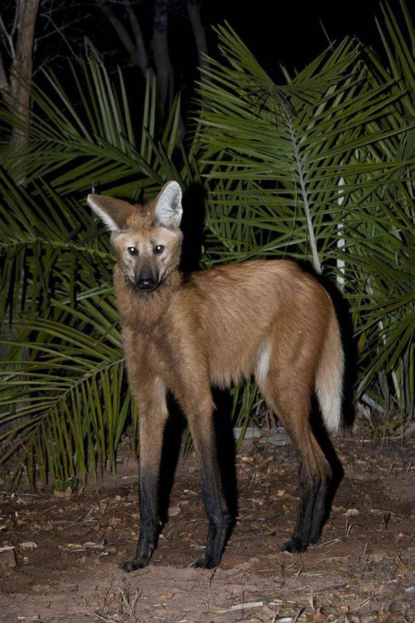 鬃狼(学名:Chrysocyon brachyurus)是最高的野生犬科动物,具有四条细长灵活的腿。