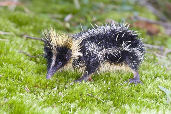 低地斑纹马岛猬(学名:Hemicentetes semispinosus)是一种生活在马达加斯加的小型动物,身上长满了刺毛,遇到威胁时这些刺毛会抛出刺向攻击者。