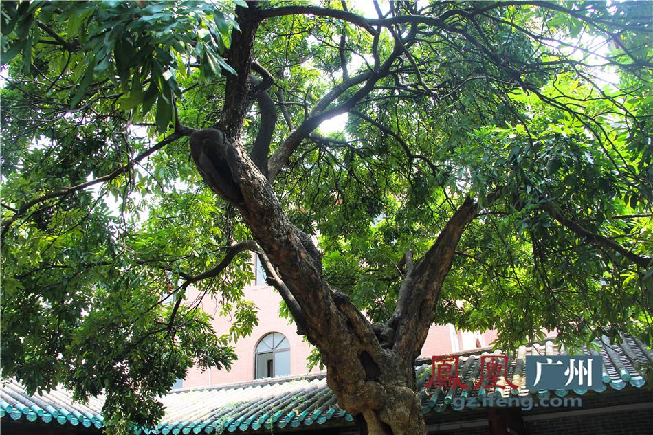 千年桂圆树图片