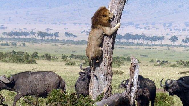 狮子被牛群追赶 穷途末路爬树躲避