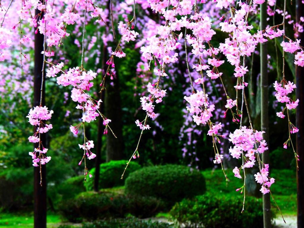 漫步京都 共迎一场樱花雨
