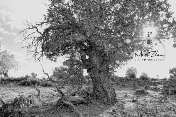 木垒胡杨林-秋至新疆 戈壁沙漠多彩林木跃然而至 图