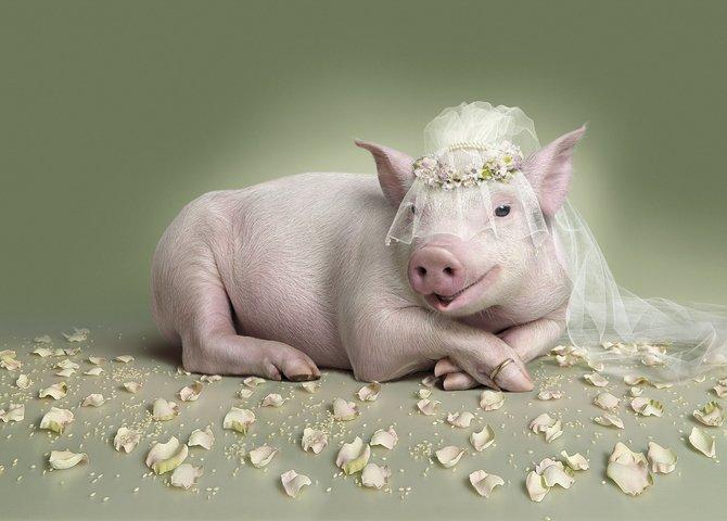 创意设计:穿婚纱的猪 检阅狼群的羊