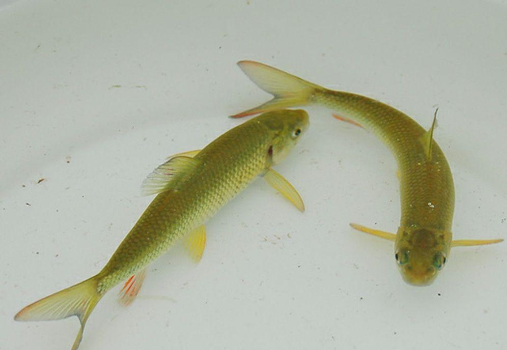 泰山赤鳞鱼 赤鳞鱼又名螭霖鱼、斑纹鱼,中国八珍之一。是一种为泰山所独有的小型野生鱼类。鲤科,突吻鱼属。在自然条件下,成鱼20厘米,重100克。体侧扁,腹部圆,头小吻钝,上唇有极小的短须两对。体暗褐色,腹白,背部微显蓝色。体被细鳞,两侧鳞片微黄,背鳍、尾鳍灰黄色,其他诸鳍桔黄色。吻部及臀部缀以白色珠星。体色随环境而变,或深或浅,变化迅速。对声音变化反应灵敏,行动敏捷,遇外界刺激迅即潜入石下。赤鳞鱼生长于海拔270~800米的山涧溪流中,喜食藻类及浮游动物。泰山溪流富生藻类,溪水常流低温,径流弯曲,含氧丰富