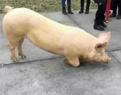 梦见猪跑到家里来