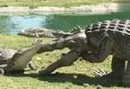 男子穿鳄鱼服偷袭巨鳄 被一口咬住