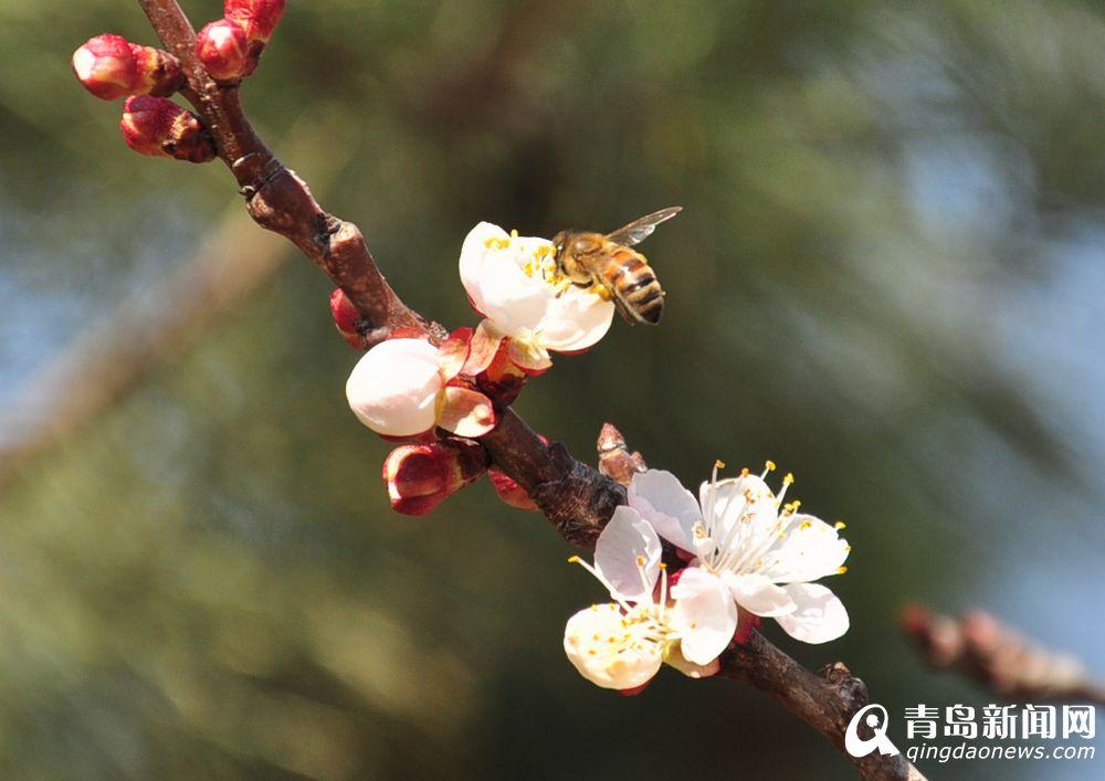 青岛迎春天崂山乡村杏花吐蕊 蜜蜂采蜜忙(图)图片