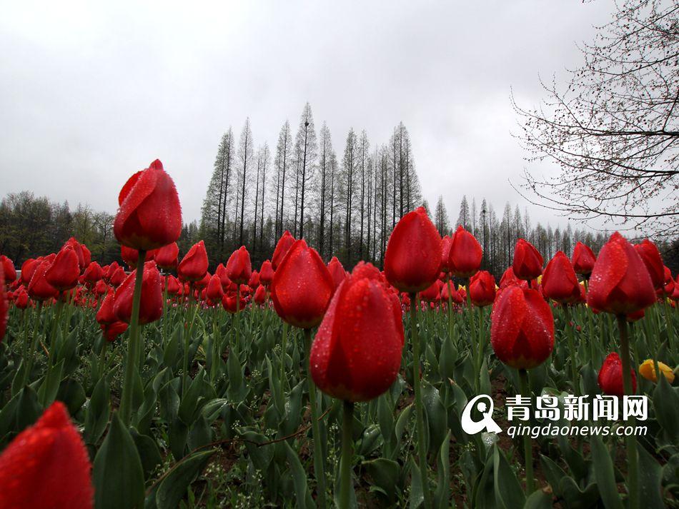 观郁金香赏樱花雨 雨中花海别样风景(组图)