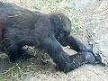 动物园大猩猩掏蜂窝遭蜜蜂狂蜇