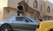 阿拉伯土豪日常生活:狮子做宠物