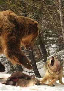 狼熊争霸 渡鸦渔翁得利