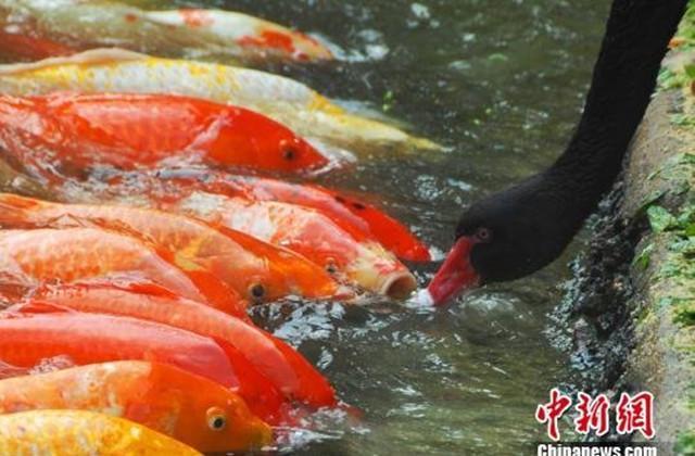 """[转发]黑天鹅连续7年每天给锦鲤鱼""""喂食"""" 场面温馨 - yfdgad - yfdgad的博客"""