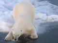 """实拍科考船意外撞见北极熊对镜头""""卖萌"""""""