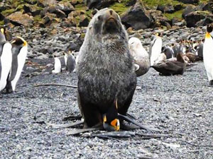 匪夷所思 科学家目睹海豹奸食企鹅现场