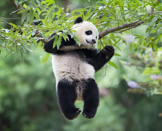 宝宝今年8月23日在庆祝一岁生日时的留影。(图/达志影像/美联社)   大熊猫宝宝是美国华盛顿国家动物园里的人气明星,但这一阵子大家都不知道宝宝到哪里去了。   园方人员说,宝宝之前碰触到熊猫区的防护电网(hot wire,一种动物园用来防止动物逃跑的安全预警系统)。她受到惊吓了,结果跑到树上去躲避,因为她在那里觉得比较安全。   疆界。饲养员决定让宝宝的妈妈美香到外面来安抚她,结果美香选择跟宝宝一起待在树上,这也是熊猫妈妈在野外保护宝宝时的行为模式。   园方人员也