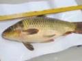 天津贪官将30万赃款藏鱼肚 放养自家鱼塘中