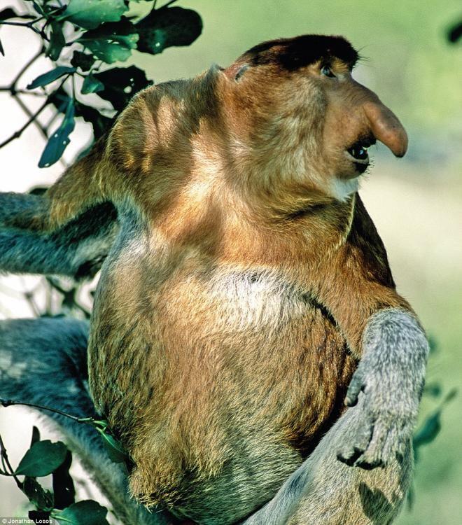 长鼻猴.长鼻猴是灵长类动物中,鼻子最大的一种.