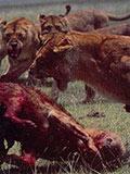 新雄狮霸占狮群 交配前首先处死前任幼狮