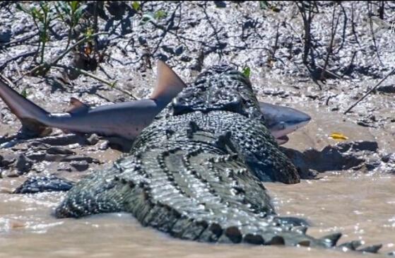 鳄鱼活吞鲨鱼 澳大利亚游客亲眼目睹惨烈场面