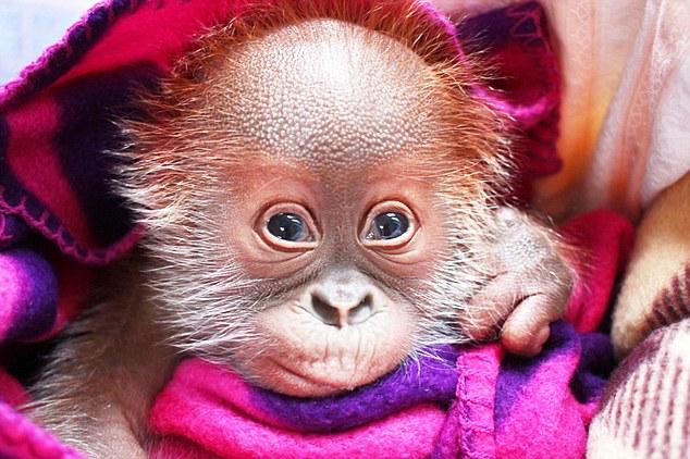 这只叫rieke的小猩猩只有一个月大,尽管非常可爱,但还是被它的妈妈