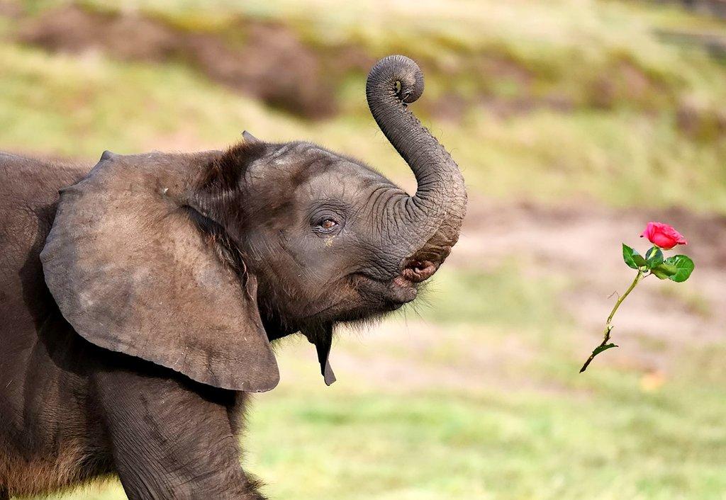 这头9个月大的小象来自英国西米德兰野生动物园,名叫sutton,它淘气从